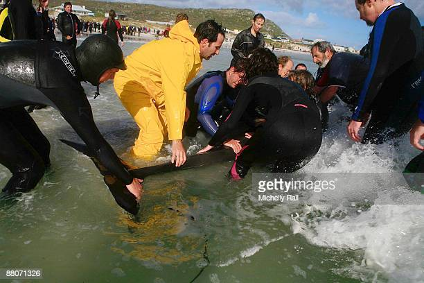 Members of the National Sea Rescue Institute conduct a rescue operation to save 55 Pilot Whales which have beached on Kommetjie Beach on May 30 2009...