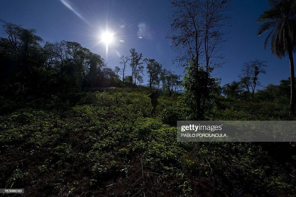 Members of the Paraguayan SENAD (Antidrug National Agency) walks across a marijuana plantation in Pedro Juan Caballero (border with Brazil) 550 km northeaster of Asuncion on April 19, 2013. AFP PHOTO/Pablo PORCIUNCULA