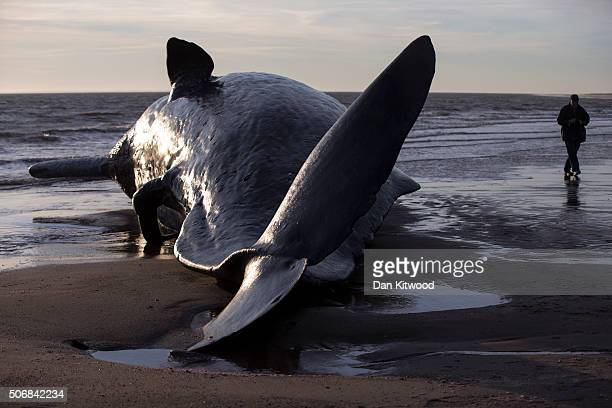 Members of the public arrive in the morning to look at one of five Sperm Whales that were found washed ashore on beaches near Skegness over the...