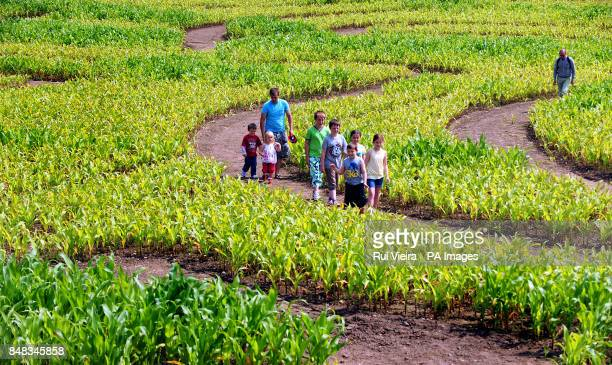 Members of the public enjoy the maze created by Midlands farmer Tom Robinson as a tribute to Jamaican sprinter Usain Bolt in his 15 acre field of...
