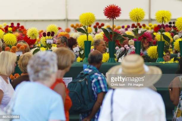 Members of the public flock to see the award winning flowers at the National Dahlia Society's Annual Show at RHS Wisley in Surrey around 100...