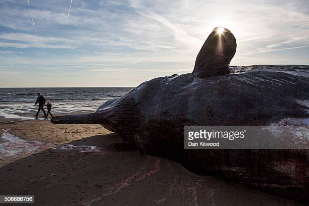 Members of the public look at one of three Sperm Whales which were found washed ashore near Skegness over the weekend on January 25 2016 in Skegness...