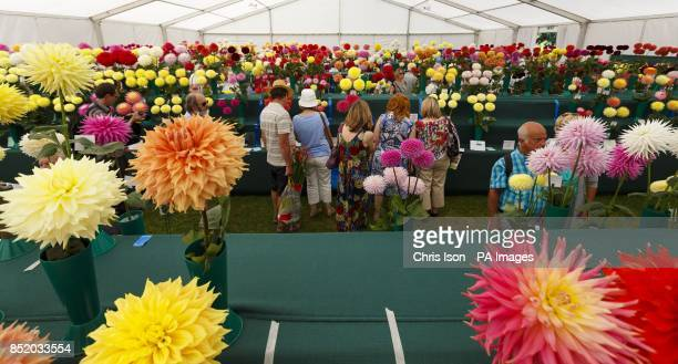 Members of the public look at the blooms at the National Dahlia Society's Annual Show at RHS Wisley in Surrey around 100 exhibitors entered the 80...