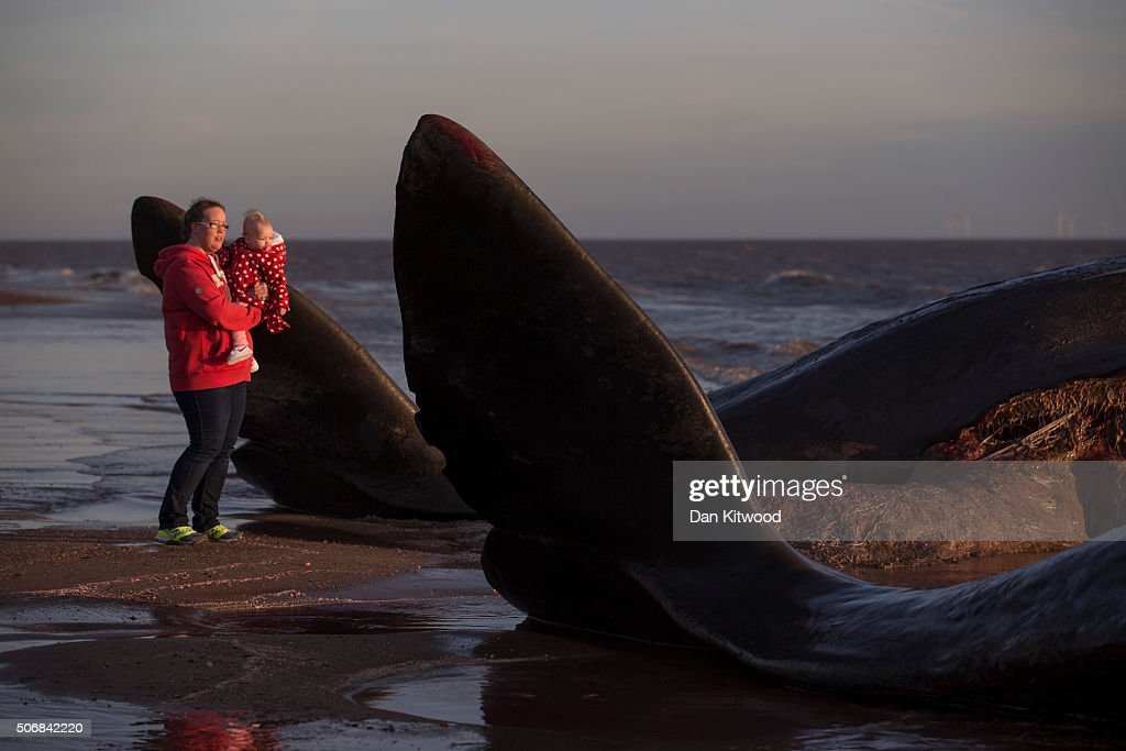 Members of the public look at two of the five Sperm Whales that were found washed ashore on beaches near Skegness over the weekend on January 25, 2016 in Skegness, England. The whales are thought to have been from the same pod as another animal that was found on Hunstanton beach in Norfolk on Friday.