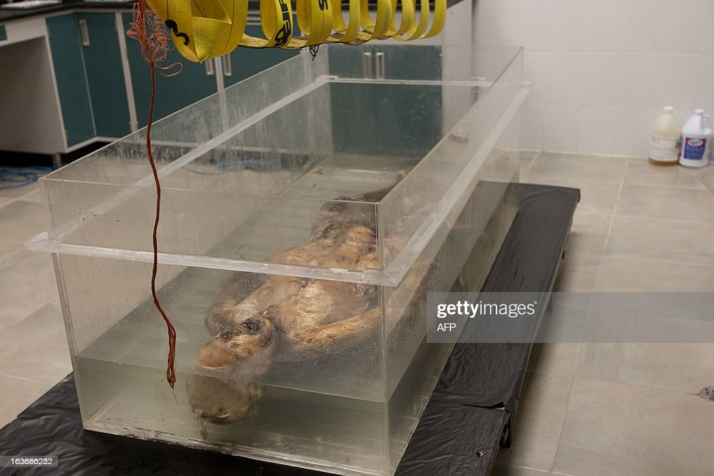 Members of the scientific team of Mexican dentist Alejandro Hernandez Cardenas immerse into a special chemical bath a mummified human corpse in an...