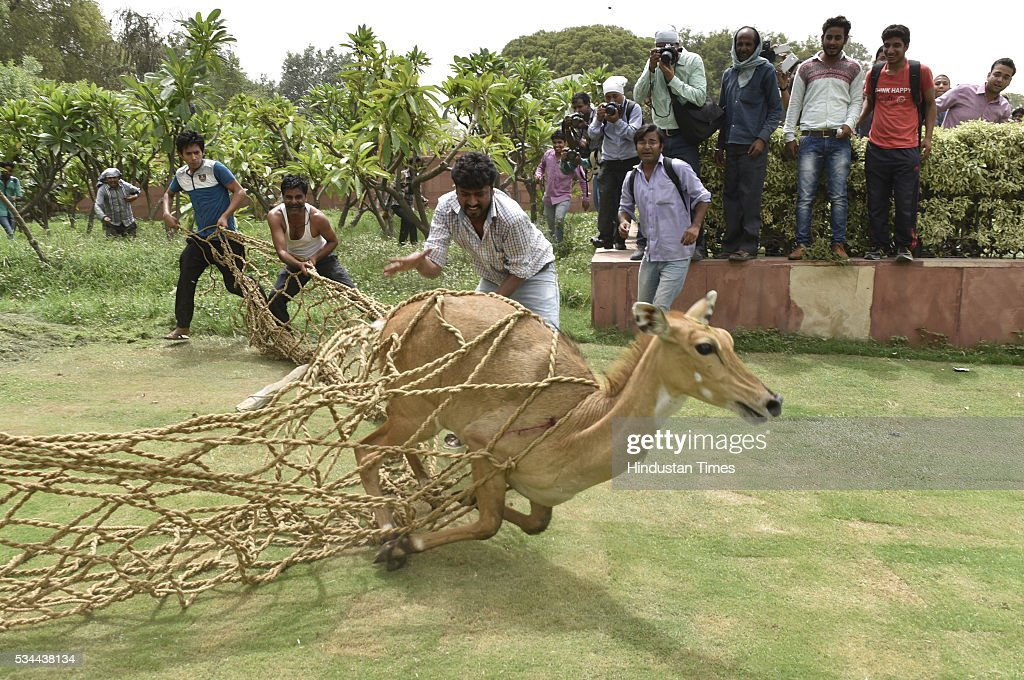 Members of Wildlife SOS India trapping Nilgai Calf which strayed near a fountain at Vijay Chowk not far from PMO at North Block and South Block crossing at the Parliament House on May 26, 2016 in New Delhi, India. Police suspect that the Nilgai had strayed from the nearby Ridge Forests and reached near North Block.