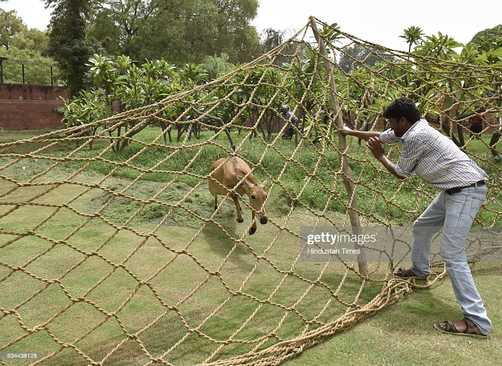 Members of Wildlife SOS India trying to trap Nilgai Calf which strayed near North Block and South Block crossing at the Parliament House on May 26, 2016 in New Delhi, India. Police suspect that the Nilgai had strayed from the nearby Ridge Forests and reached near North Block.