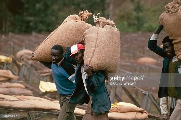 Men carrying coffee sacks Mogambo near Meru Kenya