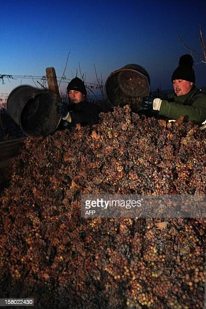 Men collect frozen wine grapes as temperatures show 12 degrees Celsius at Mikulov near Brno Czech on December 9 2012 The Ice wine which is produced...