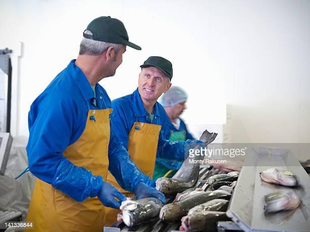Men preparing fresh hand-reared Scottish salmon on production line