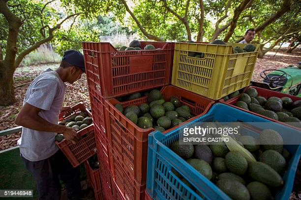 Men work during the harvest of avocado at an orchard in Uruapan municipality Michoacan State Mexico on April 6 2016 Since the oil sector was affected...