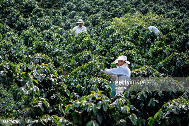 Men working at a coffee farm collecting the crop