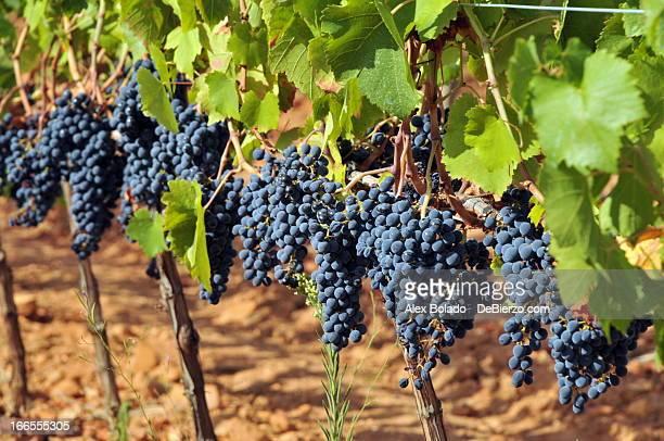 Mencia Grapes - Uva Mencía