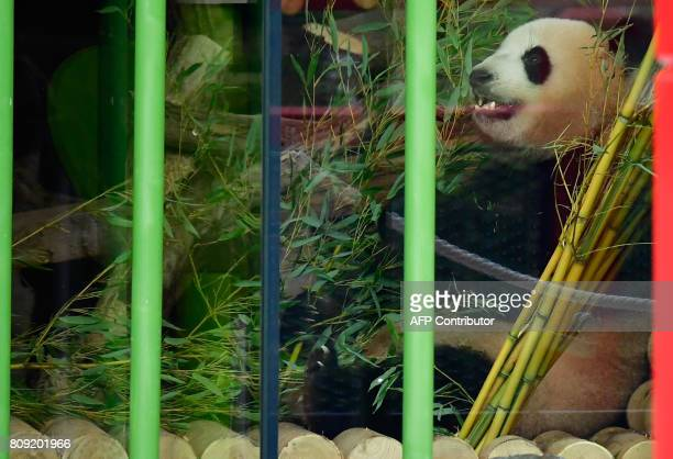 Meng Meng one of the two new pandas enjoys some bambus on July 5 2017 during an official welcoming ceremony for two panda bears at the Zoologischer...