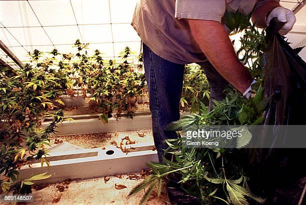 MERaidPlants0507GK–A police officer loads seized marijuana plants into a bag 1500 marijuana plants were confiscated at 1537 #D E McFadden Santa...