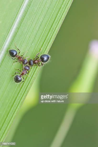 3 Meranoplus ants