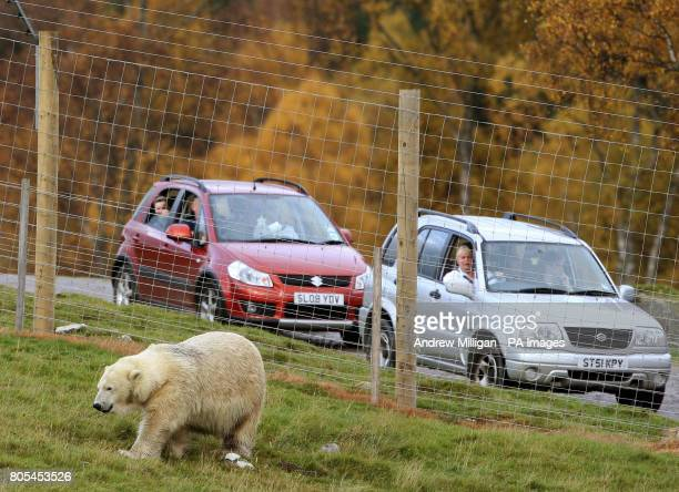 Mercedes the UK's only polar bear in her new enclosure for her first public appearance since moving from Edinburgh Zoo to the Highland Wildlife Park...