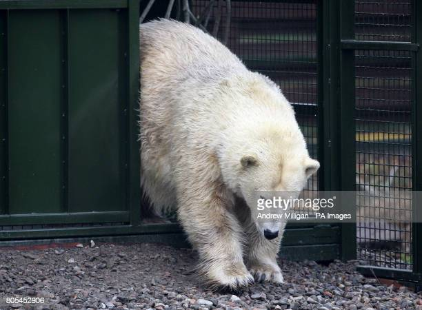 Mercedes the UK's only polar bear makes her way into her new enclosure for her first public appearance since moving from Edinburgh Zoo to the...
