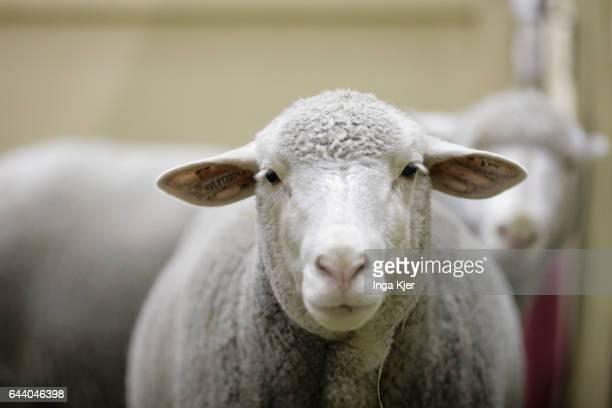 Merino sheep on February 06 2017 in Berlin Germany