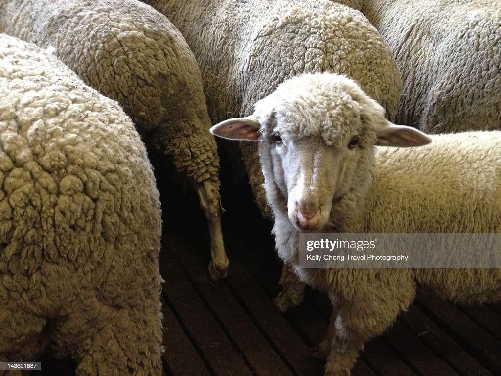 Merino sheep : Stock Photo