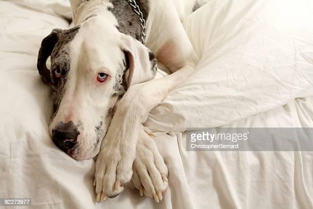 Merle-Dogge