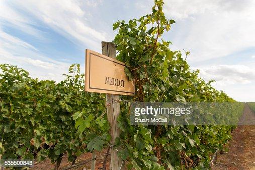 Merlot grape vines