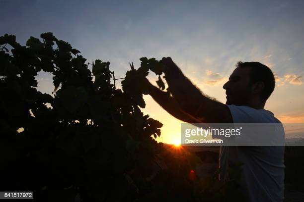 Merlot grapes are harvested at sunrise for Assaf Winery on August 19 2017 at Kidmat Zvi in the Israelicontrolled Golan Heights In a trend that...