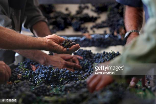 Merlot grapes are sorted for quality shortly after being harvested at Assaf Winery on August 19 2017 at Kidmat Zvi in the Israelicontrolled Golan...