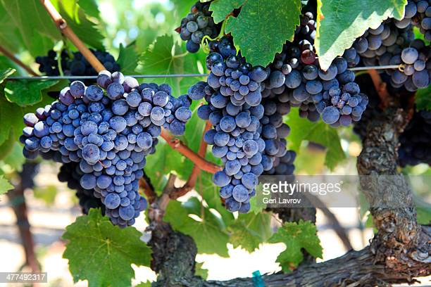Merlot grapes growing on a vine
