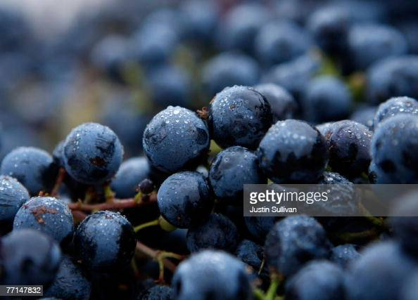 Merlot grapes sit in bunches after being freshly picked during a night harvest for Artesa Winery October 1 2007 in Napa California Wineries in the...
