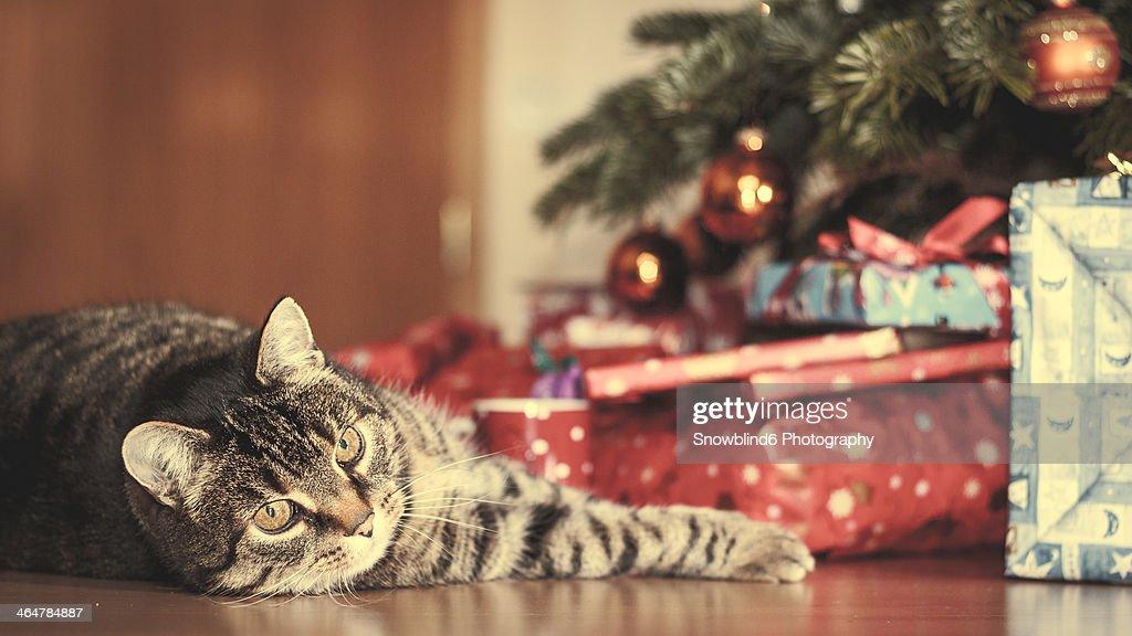 Merry Christmas Cat : Stock Photo