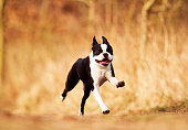 Merry young and black and white Boston Terrier puppy or French Bulldog runs and flies out for a walk, autumn background