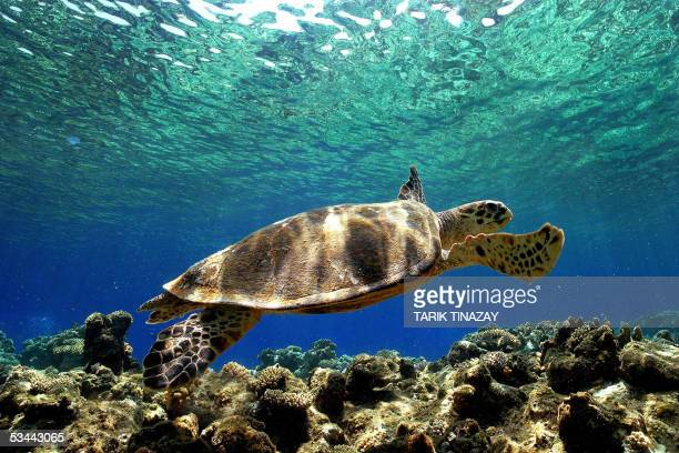 A sea Turtle swims in the depth of the Mediterranean sea near the Aydincik coast in far eastern Turkey 20 August 2005 In Turkey there are 17 nesting...