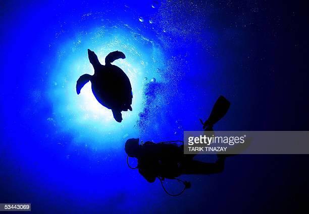 A sea Turtle swims with a scuba diver in the depth of the Mediterranean sea near the Aydincik coast in far eastern Turkey 20 August 2005 In Turkey...