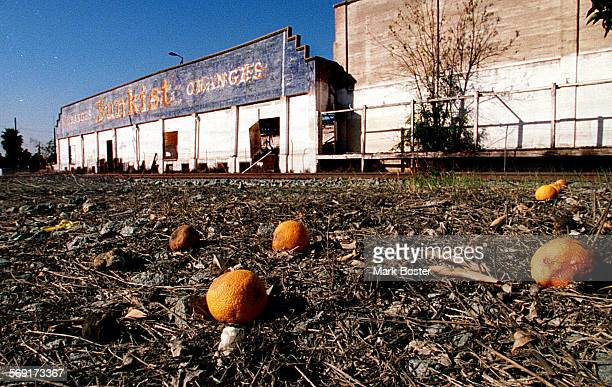 MESunkistOranges2020697MB–––The fruit from an orange tree that stands in front of the old Sunkist packinghouse in Orange lay scattered on the ground...