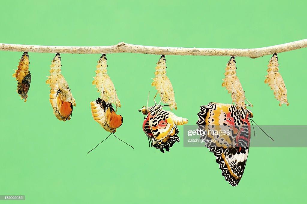 Metamorphosis of butterfly