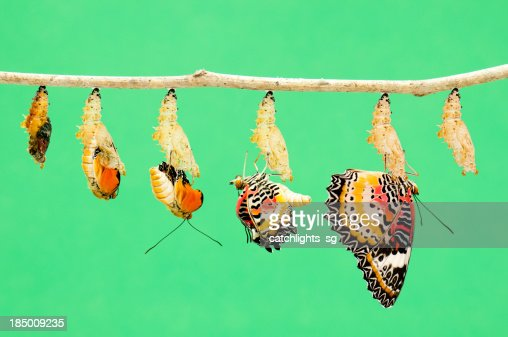 Metamorphosis of butterfly