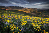 Methow Valley wildflowers, Washington