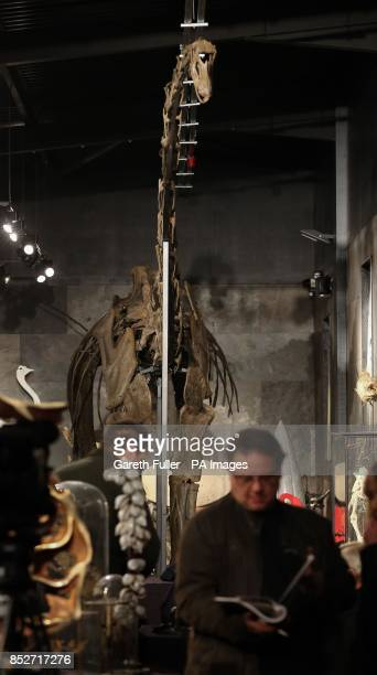 A 17 metre long specimen of a longnecked Diplodocus Longus was sold for Acircpound400000 at an auction at Summers Place Auctions in West Sussex...