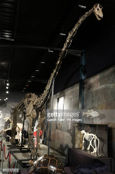 A 17 metre long specimen of a longnecked Diplodocus Longus will be auctioned at Summers Place Auctions in West Sussex According to experts it is the...