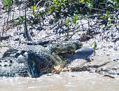 A 55 metre massive crocodile makes mince meat out of a bull shark in Kakadu's Adelaide River on August 5 2014 in Kakadu Australia The crocodile...