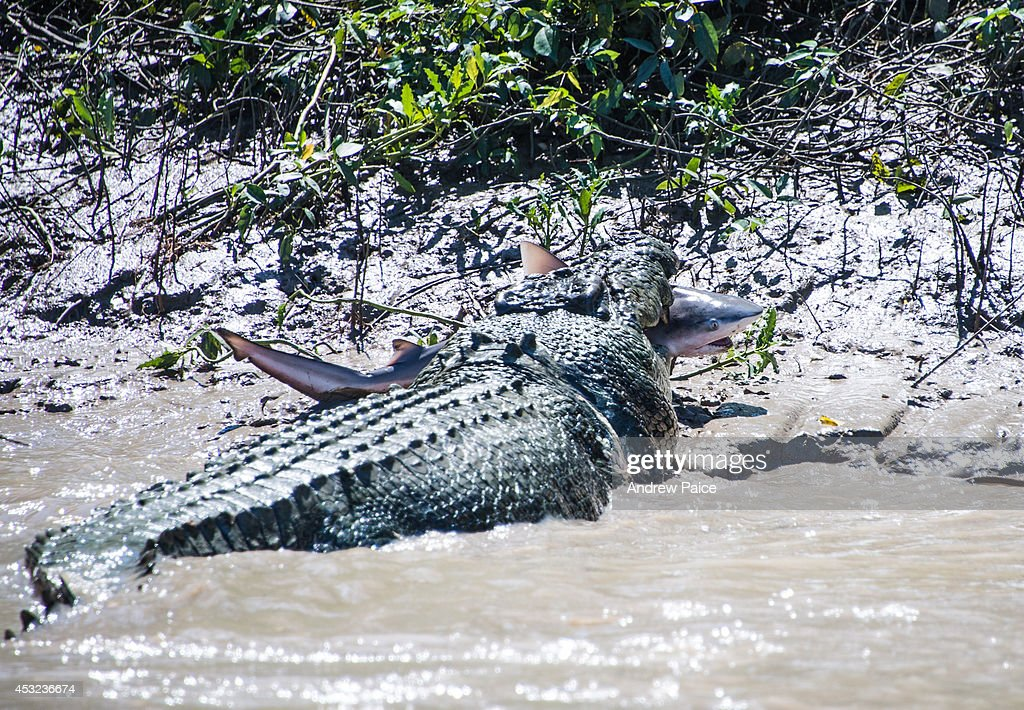 A 5.5 metre massive crocodile makes mince meat out of a bull shark in Kakadu's Adelaide River on August 5, 2014 in Kakadu, Australia. The crocodile forced the bull shark into the mangroves and devoured the bull shark. A 43 year old Sydney father took these exclusive photos in the Northern Territory.