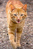 Mewing tabby cat walks toward viewer