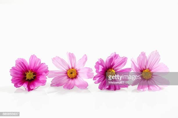 Mexican aster, Cosmos bipinnatus, blossoms