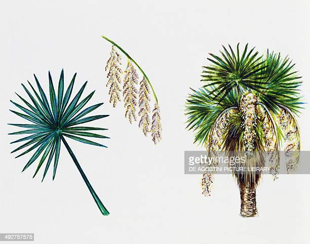 Mexican blue palm Arecaceae tree leaf and flowers illustration