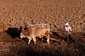 Mexican Farmer and Oxen Plow the Field