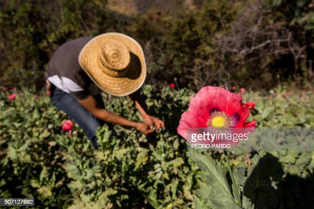 A mexican farmer works in a poppy field in the state of Guerrero Mexico on January 25 2016 Mexico is being whipped by a drug cartels war disputing...