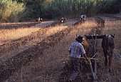 Mexican Farmers and Oxen Plow the Field