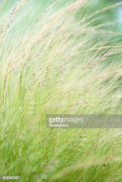 spear grass stock photos and pictures