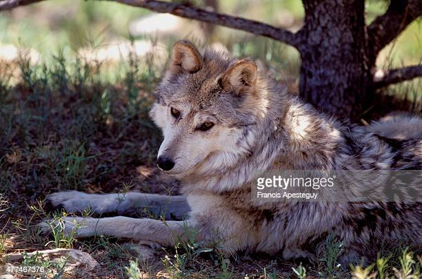 'Mexican gray wolf at Living Desert State Park Canis lupus Mexican gray wolves were once found on most of the prairie lands of the West Today they...